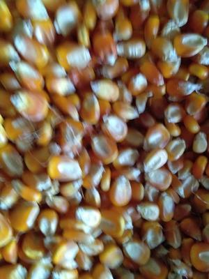 黑龙江省齐齐哈尔市讷河市玉米湿粮 净货 水份17%-20%