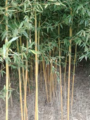 这是一张关于黄金竹的产品图片