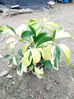 这是一张关于鸭脚木盆栽的产品图片