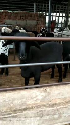 这是一张关于乌骨羊 50-80斤的产品图片