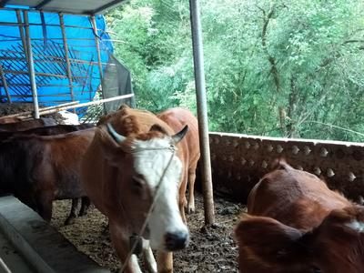 广西壮族自治区贺州市八步区改良黄牛 600-800斤 母牛