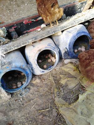 陕西省西安市户县土鸡蛋 食用 箱装