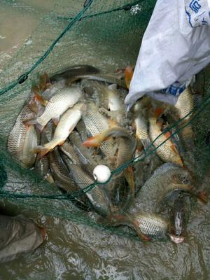 贵州省黔东南苗族侗族自治州丹寨县池鲤鱼 野生 0.25-1公斤