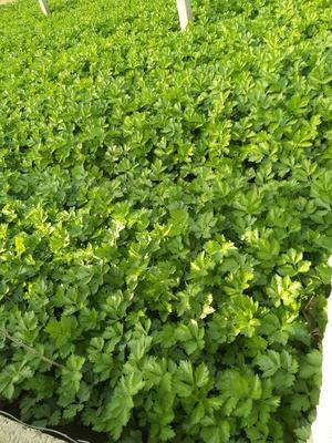 山东省临沂市沂水县西芹 60cm以上 0.5斤以下 大棚种植