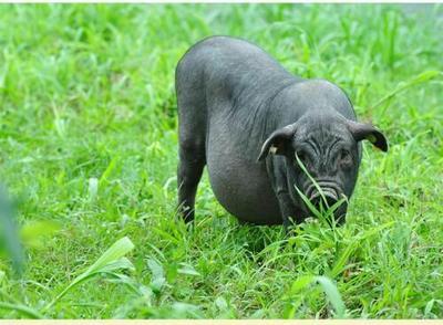 贵州省毕节市织金县黔东南香猪 80斤以上