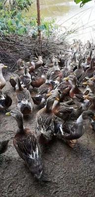 这是一张关于杂交鸭 统货 全散养 5-6斤的产品图片