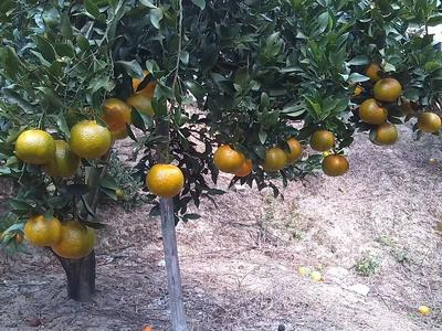 这是一张关于芦柑 6.5 - 7cm 3两以上的产品图片