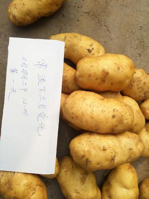 山东省枣庄市滕州市荷兰15号土豆 3两以上