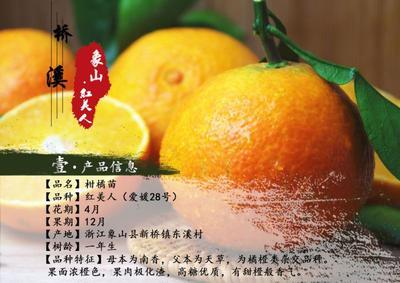 这是一张关于象山红美人柑橘苗 嫁接苗 1~1.5米的产品图片