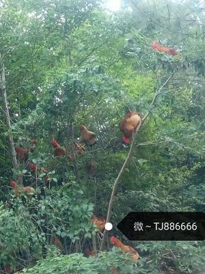 重庆巫溪县土鸡 4-5斤 公