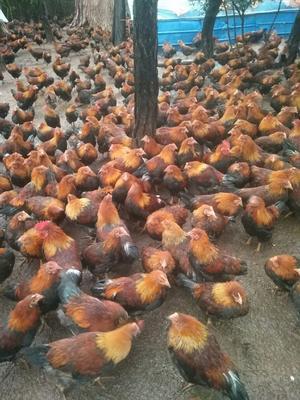 这是一张关于阉鸡 3-4斤 统货的产品图片