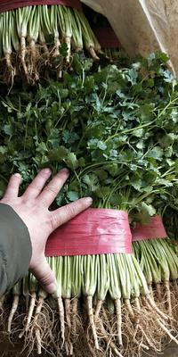 山东省德州市齐河县铁杆青香菜 30~35cm