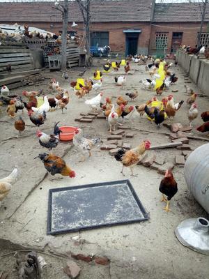 这是一张关于柴鸡 3-4斤 公的产品图片