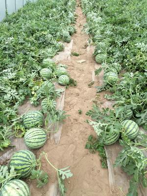 河南省商丘市梁园区8424西瓜 无籽 1茬 9成熟 6斤打底