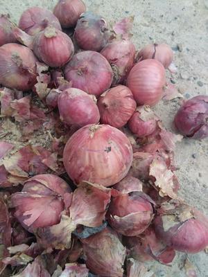 甘肃省酒泉市瓜州县(原安西县)二红洋葱 7cm以下