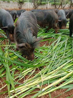 这是一张关于藏香猪 100斤以上的产品图片