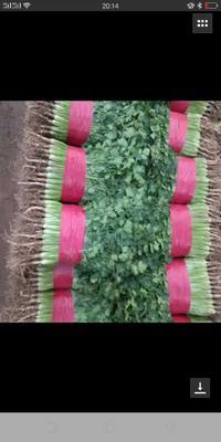 这是一张关于小叶香菜 20~25cm的产品图片