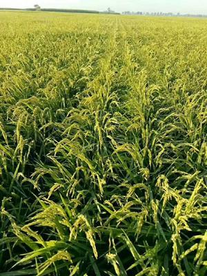 黑龙江省哈尔滨市五常市稻花香二号大米 一等品 一季稻 籼米