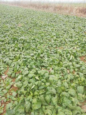 山东省菏泽市牡丹区大叶菠菜 30~35cm