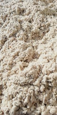 这是一张关于平原棉花的产品图片