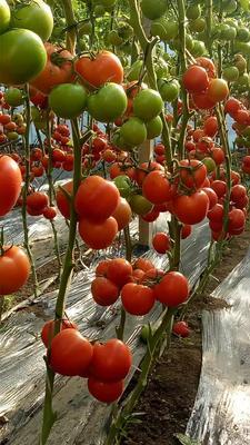 山东省临沂市沂水县大红西红柿 精品 弧三以上 大红