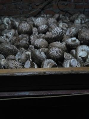 湖北省随州市随县剪柄香菇 袋装 1年