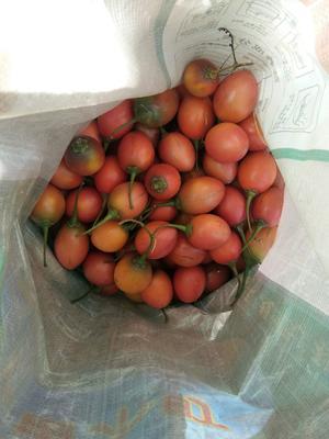 云南省保山市施甸县越夏番茄夏朗 精品 硬黄 弧二以上
