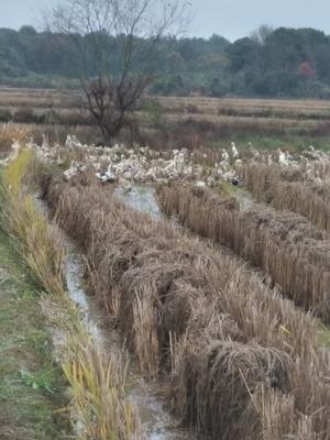 这是一张关于绍鸭 2-3斤 母 全散养的产品图片