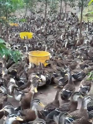 这是一张关于杂交鸭 公 全散养 5-6斤的产品图片