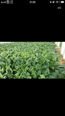 山东省聊城市东昌府区越冬菠菜 20~25cm