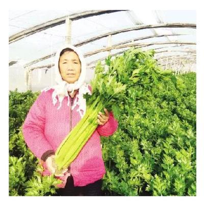 山东省菏泽市单县玻璃脆芹菜 55~60cm 大棚种植 0.5斤以下