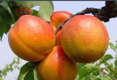 这是一张关于串枝红杏苗的产品图片