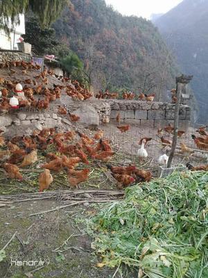 重庆万州区土鸡 5-6斤 统货