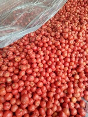 山东省聊城市东昌府区毛粉西红柿 通货 弧二以上 硬粉