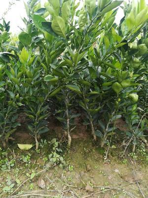 这是一张关于伦晚脐橙苗 嫁接苗 0.5~1米的产品图片