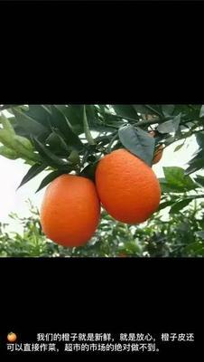 这是一张关于纽荷尔脐橙  60 - 65mm 4-8两 湖北秭归江边橙,长虹的产品图片