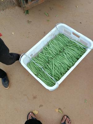 云南省昆明市呈贡区白花四季豆 10cm以上