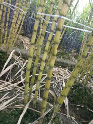 广西壮族自治区玉林市兴业县黄皮果蔗 2 - 2.5m 4 - 5cm