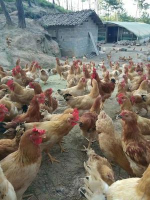 这是一张关于土鸡 3-4斤 母的产品图片