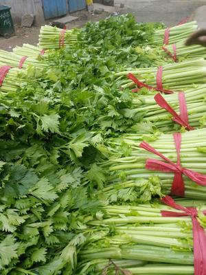 河南省商丘市夏邑县西芹 60cm以上 0.5~1.0斤 大棚种植