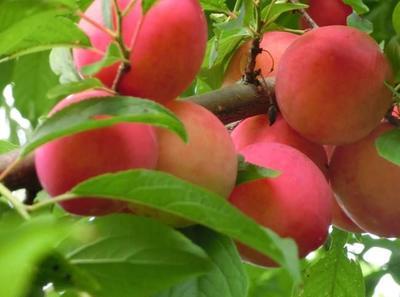 这是一张关于映霜红桃苗 0.5~1米的产品图片