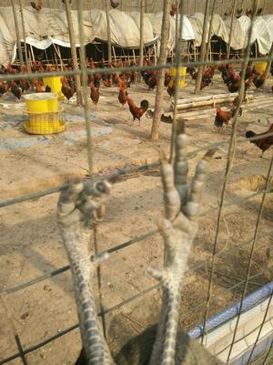 这是一张关于华北柴鸡 3-4斤 公的产品图片