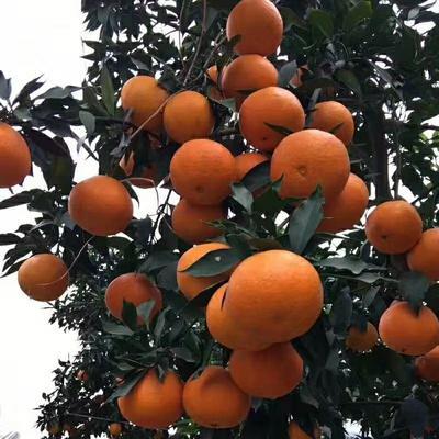 这是一张关于爱媛38号柑桔 统货 3两以上的产品图片