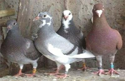 这是一张关于肉鸽 800-1000克的产品图片