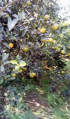 这是一张关于清香蜜桔 4 - 4.5cm 1两以下的产品图片