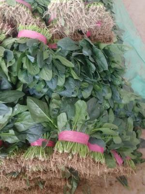 河北省邯郸市永年县大叶菠菜 20~25cm
