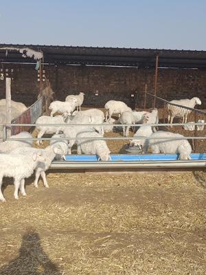 这是一张关于绵羊 140-170斤的产品图片