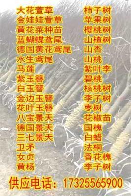 河北省保定市顺平县速生法桐