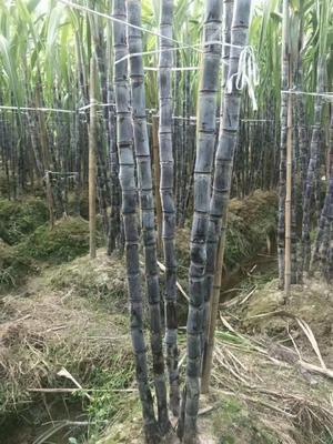 广西壮族自治区桂林市平乐县黑皮甘蔗 3 - 4cm 2.5 - 3m