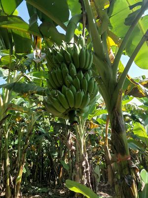 这是一张关于云南高原芭蕉 八成熟的产品图片